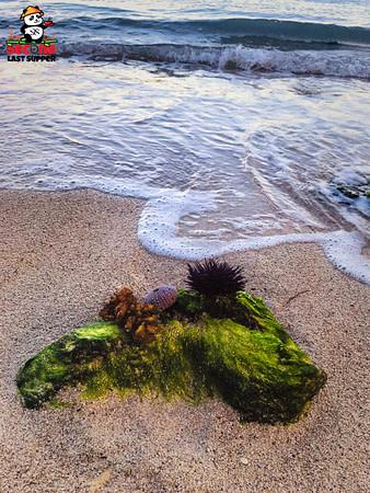 Beautiful beach organisms in Flic En Flac Mauritius