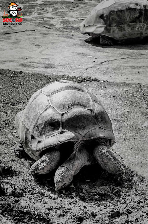 Old tortoise in Chamarel Mauritius
